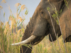 Africa, Zambia. Close-up of elephant eating