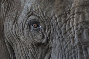 Africa, Zambia. Close-up of elephant's eye
