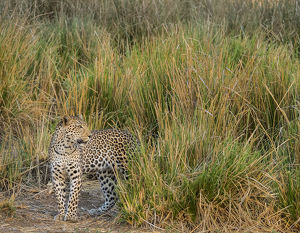 Africa, Zambia. Close-up of leopard standing in grass