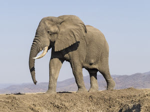 Africa, Zambia. Elephant atop hill. Credit as: Bill Young / Jaynes Gallery /