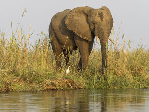 Africa, Zambia. Elephant next to Zambezi River