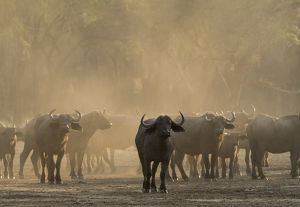 Africa, Zambia. Herd of Cape buffaloes. Credit as: Bill Young / Jaynes Gallery /