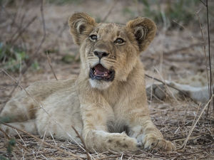Africa, Zambia. Portrait of lion cub. Credit as: Bill Young / Jaynes Gallery /