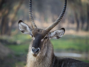 Africa, Zambia. Portrait of waterbuck. Credit as: Bill Young / Jaynes Gallery /