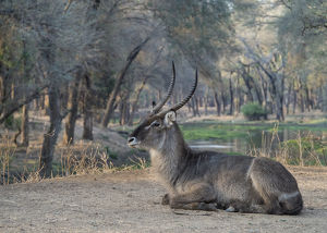 Africa, Zambia. Resting waterbuck. Credit as: Bill Young / Jaynes Gallery / DanitaDelimont