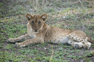 Africa, Zambia, South Luangwa National Park, Mfuwe. Lion cub (WILD: Panthera leo)