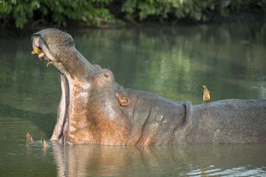 Africa, Zambia, South Luangwa National Park. Hippopotamus in pool with mouth open (WILD