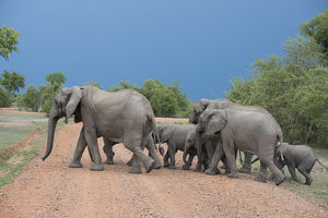 Africa, Zambia, South Luangwa National Park, Mfuwe. Herd of African elephants (WILD