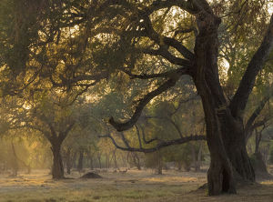 Africa, Zambia. Sunset on forest. Credit as: Bill Young / Jaynes Gallery / DanitaDelimont