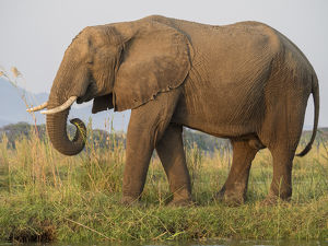 Africa, Zambia. Side view of elephant eating