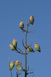 African Lovebirds, Agapornis Rosecolis, socialize while perched in a tree, Keetmanshoop
