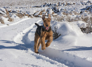 Airedale Terrier running through snow