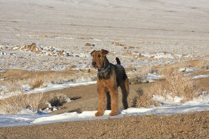 Airedale Terrier standing in Alabama Hills NRA, California