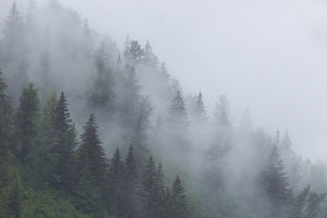 Alaska, Glacier Bay National Park. Fog shrouds trees on steep slopes in the Tongass