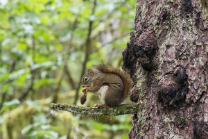 Alaska, Glacier Bay National Park. American Red Squirrel (Tamiasciurus hudsonicus)