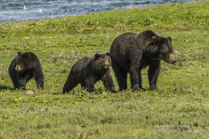 Alaska, Tongass National Forest, Admiralty Island. Grizzly bear sow and cubs. Credit as