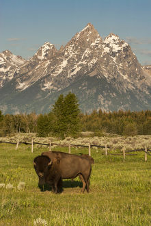 usa/wyoming/american bison grand teton national park wyoming