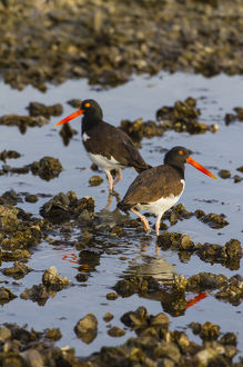 American Oystercatcher (Haematopus palliatus) pair on oyster reef