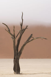 Ancient dead camelthorn acacia trees in the dry lakebed of Deadvlei, Namib-Naukluft