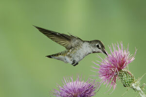 Anna's Hummingbird, Calypte anna, female in flight feeding on Thistle, Paradise