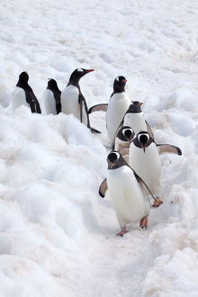 Antarctica, Cuverville Island, Gentoo Penguins Walking Through the Snow