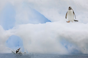 Antarctica, Neko Harbor. While one gentoo penguin watches another falls back into