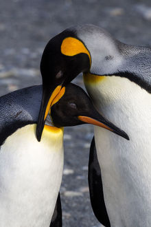 Antarctica, South Georgia Island, St. Andrew's Bay, A Pair of King Penguins