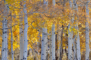 Aspen Glowing along Dallas Mountain Road, San Juan Mountains Colorado