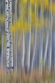 Aspen Grove in glowing golden colors of autumn near Aspen Township, Colorado shown