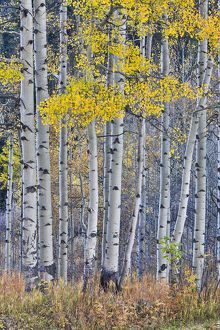 Aspen Grove in glowing golden colors of autumn near Aspen Township, Colorado