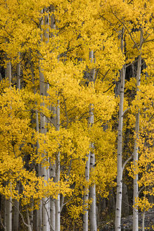 Aspen trees in fall color, Uncompahgre National Forest, Colorado
