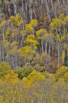Aspens in fall golden color along McClure Pass, Colorado