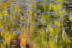 Autumn colors and lily pads reflecting on Thornton Lake at sunrise, Hiawatha National