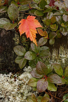 Autumn Maple leaf on blueberry foliage, Pictured Rocks National Lakeshore, Upper