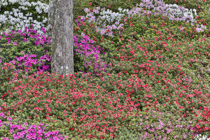 Azeleas in full bloom Middleton Place, Charleston South Carolina