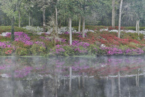 Azeleas in full bloom reflected in calm pond Middleton Place, Charleston South Carolina