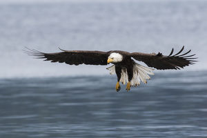 Bald Eagle Alighting