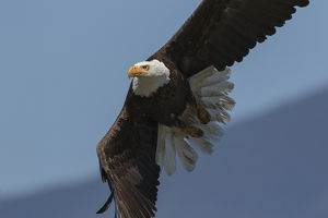 Bald Eagle, Close-up in Flight