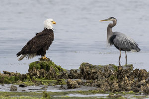 Bald Eagle & Great Blue Heron