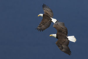 Bald Eagle Pair in Flight