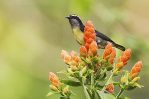 Bananaquit on blooms
