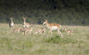A band Pronghorn antelope does with newborn fawns, Antilocapra americana, grasslands