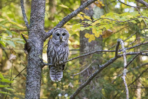 Barred Owl (Strix varia) in fall, Alger County, MI