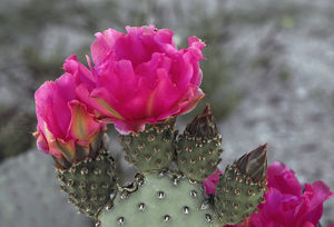 Beacertail cactus (Opuntia basilaris) in bloom, Anza-Borrego Desert State Park, California