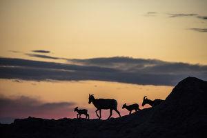 Bighorn ewes with lambs silhoutted against sunset sky in Badlands National Park
