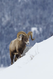 Bighorn Sheep Ram on Winter Range