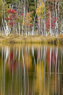 Birch trees and autumn colors reflected on Red Jack Lake, Hiawatha National Forest