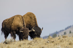 Bison (Bison bison) in Lamar Valley, Yellowstone National Park, Wyoming, USA