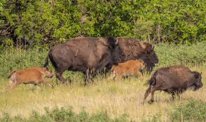 Bison herd with calves in Custer State Park, South Dakota, USA