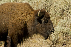 bison profile, Lamar Valley, Yellowstone National Park, Wyoming, USA